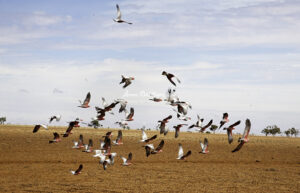 BRA_6216 galahs in flight over dry ground 29 12 2015 copy